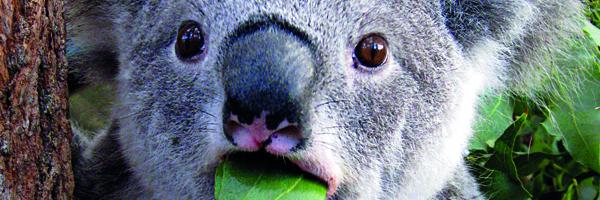 s01e04 Koalas fressen Scheisse